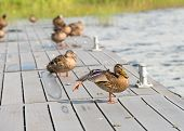Mallard Duck Stretching Its Wing And Orange Webbed Foot On A Wooden Platform