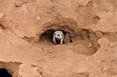 stock photo of meerkats  - Meerkat or suricate in nest or burrow  - JPG