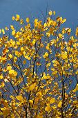 Yellow Autum Tree
