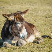 stock photo of donkey  - Portrait of a donkey resting in the meadow - JPG