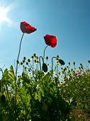 picture of opium  - Beautiful poppy (opium Poppy) flowers in a field against in sky