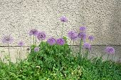 Allium flowers by roughcast wall