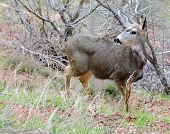 picture of mule  - A Mule deer in meadow  - JPG