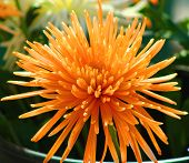 Sunny Orange Spider Chrysanthemum poster