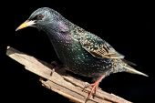 Starling On Stump