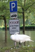 stock photo of flood  - A swan sits in flood on a flooded parking lot - JPG
