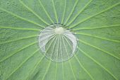 Water drop on a giant tropical leaf in Samut Prakan, Thailand.