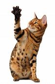 picture of paws  - bengal cat raising up paw isolated on white background - JPG