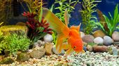 stock photo of fantail  - Red Fantail hardy fancy gold fish in planted aquarium - JPG
