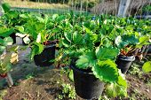 picture of strawberry plant  - closeup of strawberry plants potting in the garden - JPG
