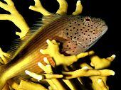 pic of hawkfish  - Freckled Hawkfish  - JPG