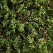 Fir-needle tree branches