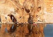 Three Liones drinking from a waterhole