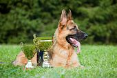 German Sheepdog With Cups Laying On The Grass