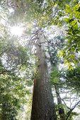 Large japanese cedar tree