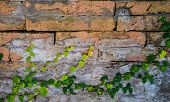 foto of bittersweet  - Tree Climbers old brick wall for background - JPG