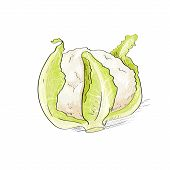 cabbage sketch color drawing isolated over white background