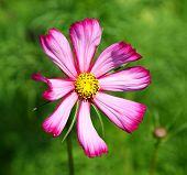 Decorative Flower Cosmos
