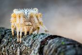 foto of hairy  - hairy spider with white spots on branch - JPG