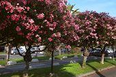 Beautiful Oleanders Growing On The Boulevard De La Croisette