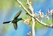 stock photo of hummingbirds  - Flying Cuban Emerald Hummingbird  - JPG