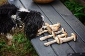 image of edible mushrooms  - cavalier king charles spaniel dog smells wild edible mushrooms - JPG
