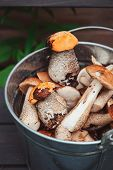stock photo of gathering  - wild edible orange and brown cap boletus mushrooms gathered in can