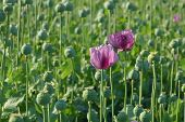 picture of cocoon  - Poppy flower and green cocoons in field spring - JPG