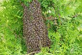 picture of swarm  - a large swarm of bees sitting on the trunk of a green arborvitae - JPG