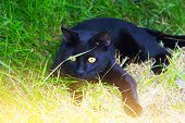 pic of black cat  - Black cat with yellow eyes hunting - JPG