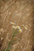 stock photo of daisy flower  - Daisy flower in wheat field  - JPG