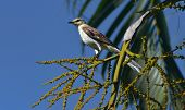 stock photo of mockingbird  - Northern Mockingbird is perch the palm tree - JPG