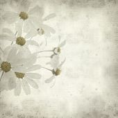 pic of tansy  - textured old paper background with Tanacetum ptarmiciflorum Silver Lace Bush or Silver Tansy - JPG