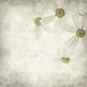 image of tansy  - textured old paper background with Tanacetum ptarmiciflorum Silver Lace Bush or Silver Tansy - JPG