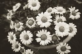 foto of pot-bellied  - Daisies in a pot viewed from above at home garden - JPG