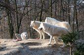 Pack Of Polar Wolves.