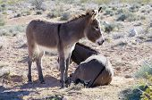stock photo of burro  - wild burros in a field near las vegas - JPG
