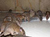 Wild Tempole Rats Drinking Milk