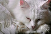 White Turkish Angora Cat Sleeping