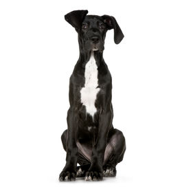 stock photo of great dane  - Great Dane in front of a white background - JPG