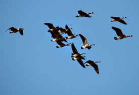 picture of honkers  - A flock of Canada geese in flight - JPG