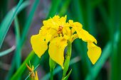 Yellow Irises Against Blur Nature Background. This Is A Wild Iris - Iris Pseudacorus Or Yellow Flag, poster