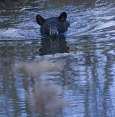 stock photo of bear cub  - Black bear cub swimming across a pond toward photographer - JPG