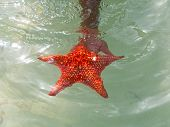Caribbean Starfish In The Cayman Islands At Starfish Point poster
