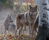 pic of endangered species  - Wolf pack on cool - JPG