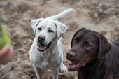 Two Cute Labrador Retriever Dogs Puppies Sitting And Expecting A Person To Throw A Dog Toy poster