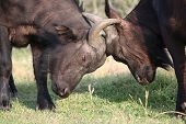 Fighting African Buffalo