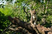 Cute Kitty Is Standing On A Tree Trunk In The Woods. The Kitten Is A Domestic Short-haired Cat. poster