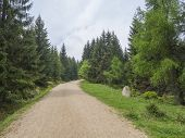 Empty Beige Sand Footpath Road In Green Conifer Spruce Tree Forest, Vibrant Spring Green, Copy Space poster