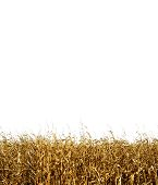 A Tileable Corn Background